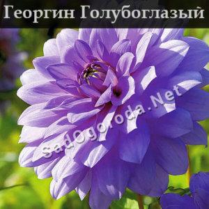 Георгин Голубоглазый