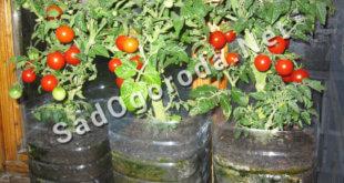 Выращивание помидор дома на подоконнике