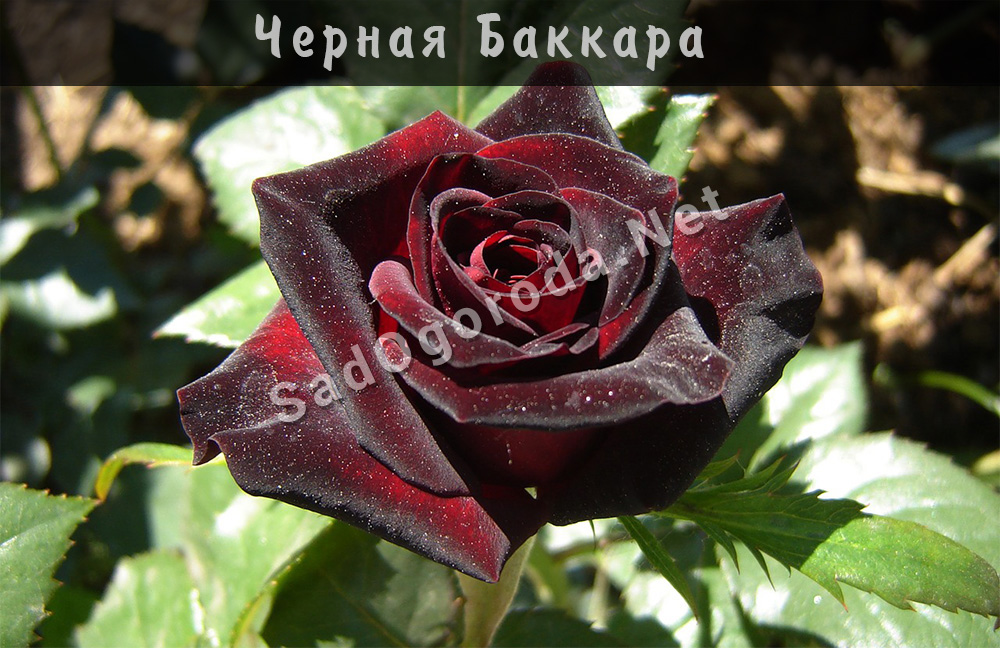 Сорт роз Черная Баккара. Посадка роз весной. Сроки посадки роз осенью. Место для посадки