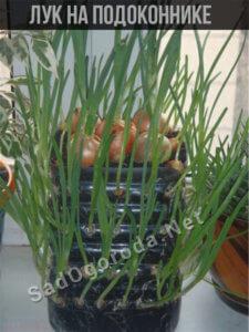 Зеленый лук дома на подоконнике