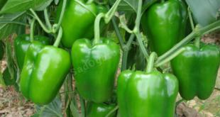 Как вырастить рассаду перца из семян. Технология выращивания перца