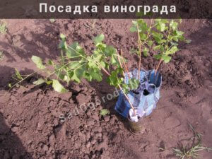 Посадка винограда в открытый грунт. Лучшее время посадки винограда