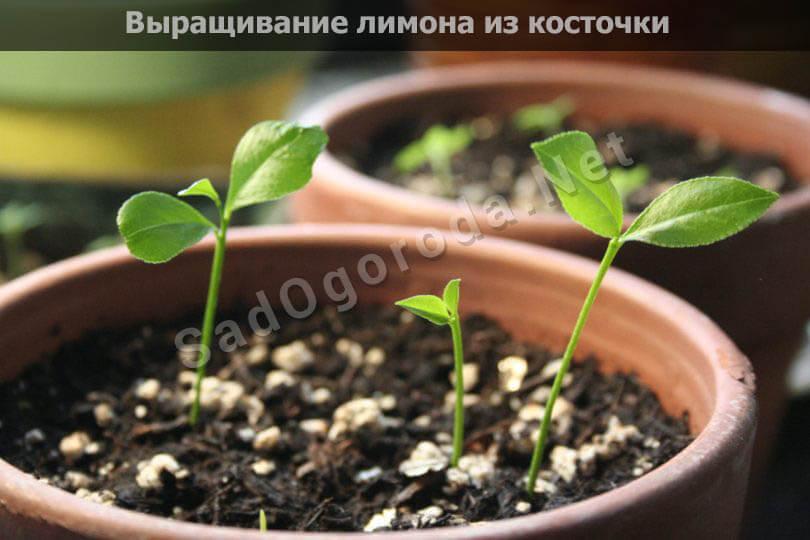 Выращивание лимона из косточки: в домашних условиях, в квартире