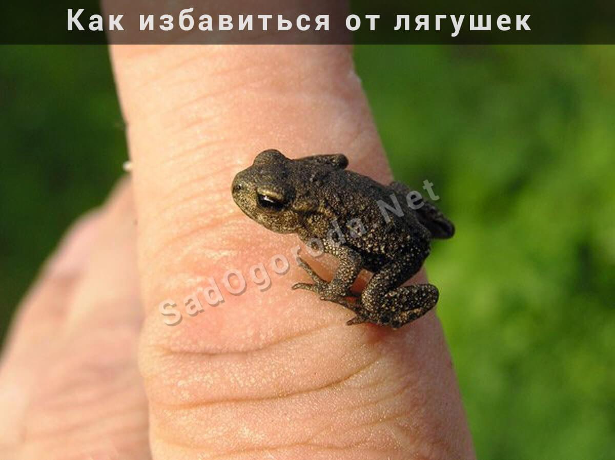 Как избавиться от лягушек на даче