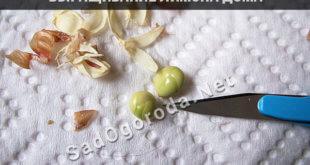 Выращивание горького перца на подоконнике круглый год