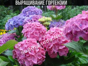 гортензия уход и выращивание в саду