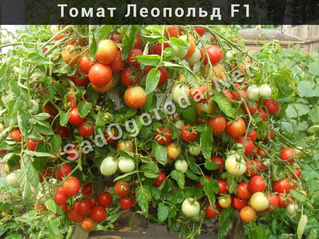 выращивание на подоконнике помидоры