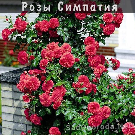 Посадка роз весной. Сроки посадки роз осенью. Место для посадки