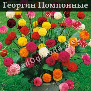 Георгин Помпонные
