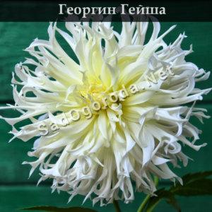 Георгин Гейша