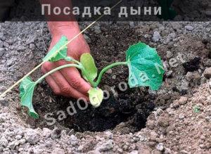 Посадка дыни в открытый грунт. Сорта дыни с фото и описанием для открытого грунта