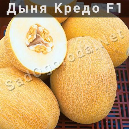 Дыня Кредо f1 - описание, отзывы фермеров, семена