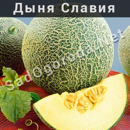 Дыня Славия описание сорта с фото. Семена дыни Славия