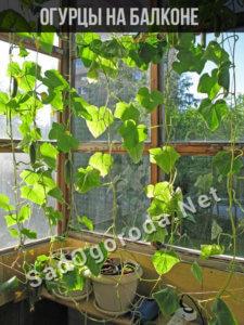 Как вырастить огурцы на балконе в домашних условиях
