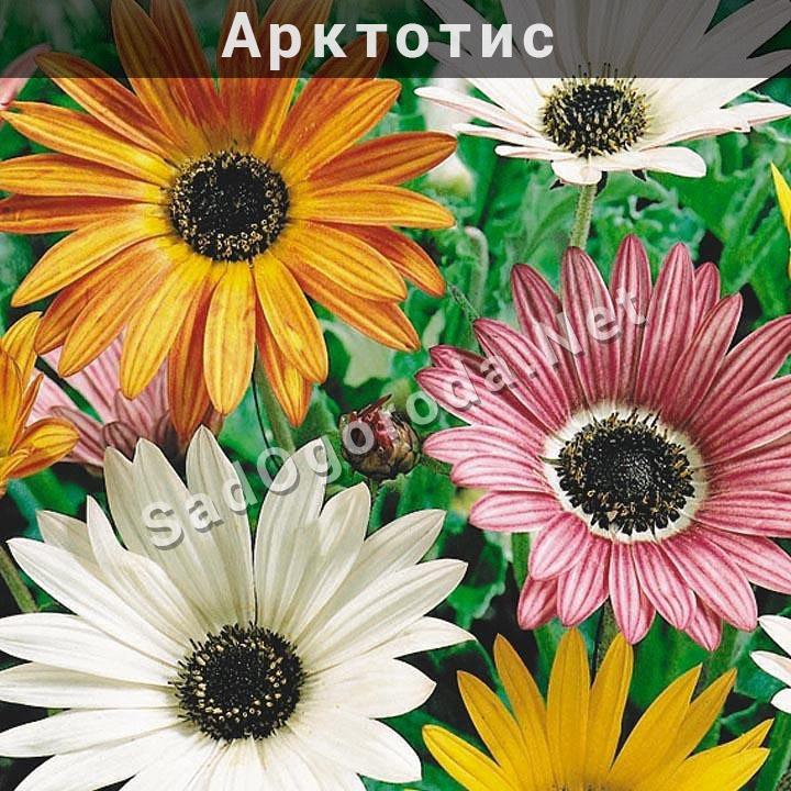 Арктотис посадка и уход в открытом грунте. Выращиваем цветы арктотис фото
