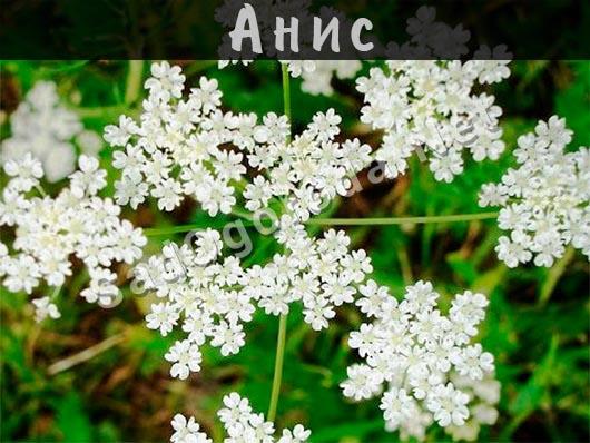 Анис лечебные свойства. Вкус и запах аниса. Фото и описание аниса