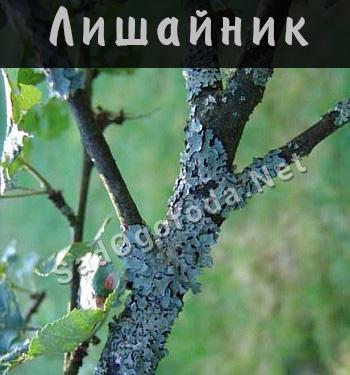Как бороться с лишайником на деревьях. Как избавиться от лишайника на плодовых деревьях