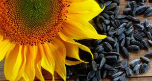 Выращивание подсолнуха из семян. Декоративные подсолнухи выращивание
