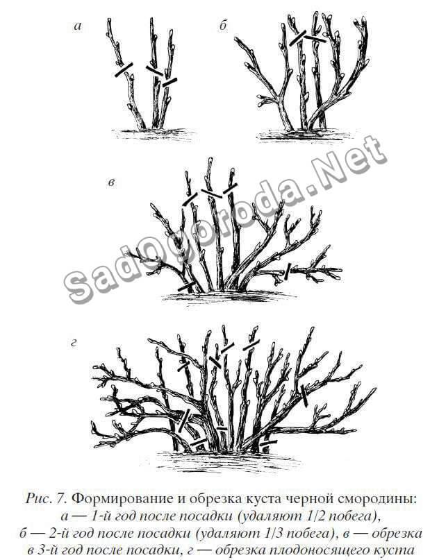 Как правильно обрезать черную смородину осенью
