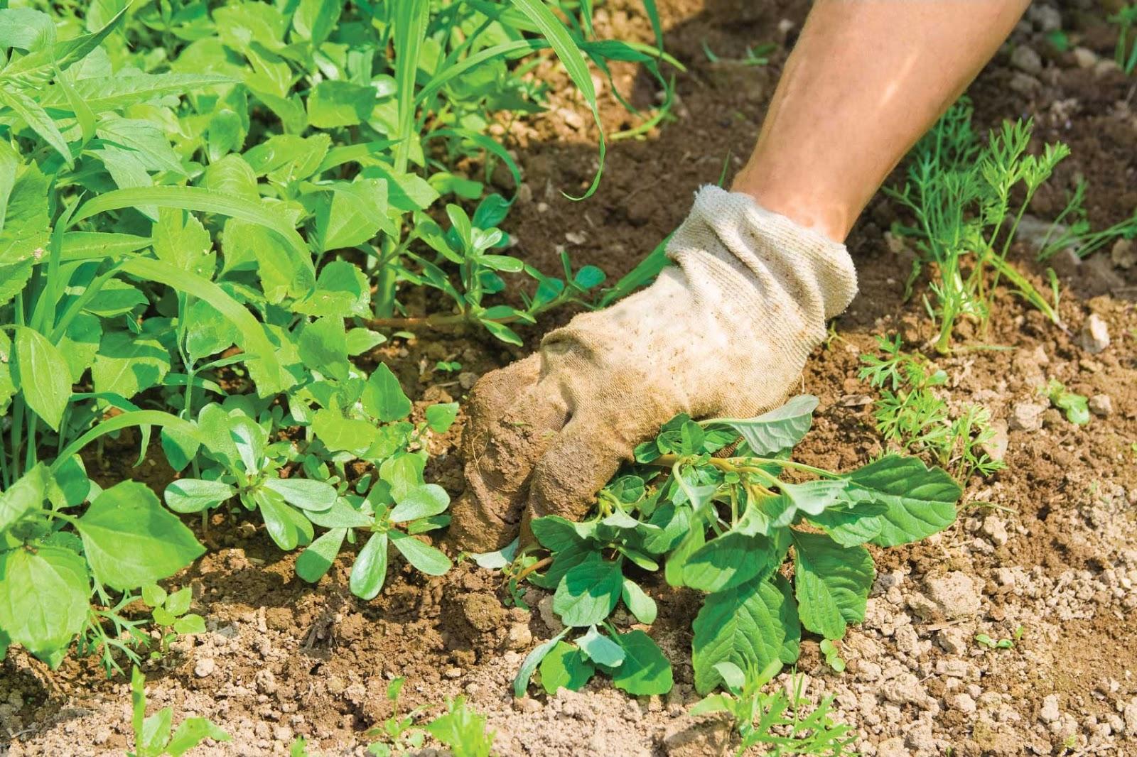 Как убрать сорняки с огорода
