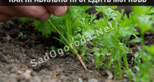 Как проредить морковь на грядке. Как правильно проредить морковь для хорошего урожая