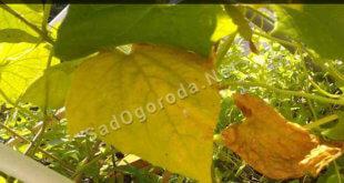 Почему у огурцов желтеют листья