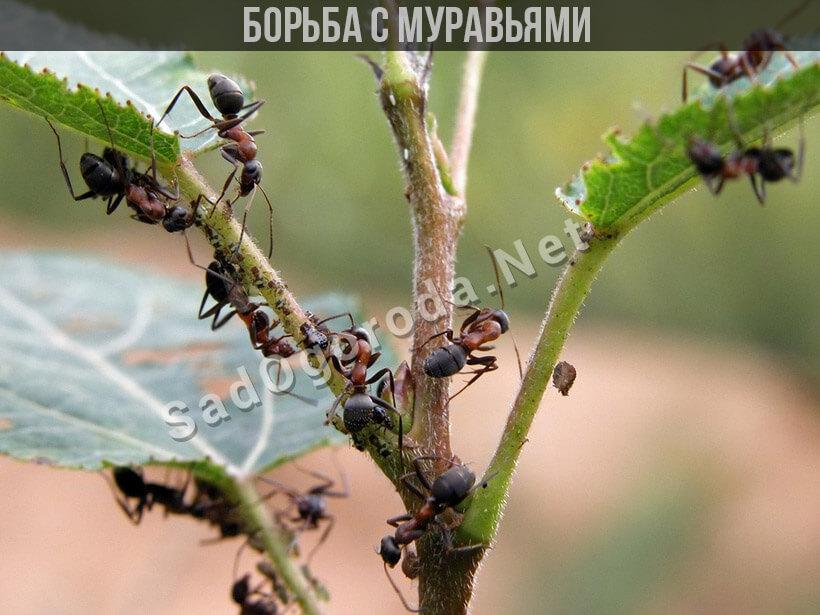 Борьба с муравьями народными средствами. Избавляемся от муравьев.