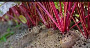 Выращивание свёклы пошаговая агротехника