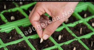 Посадка кабачка семенами в открытый грунт