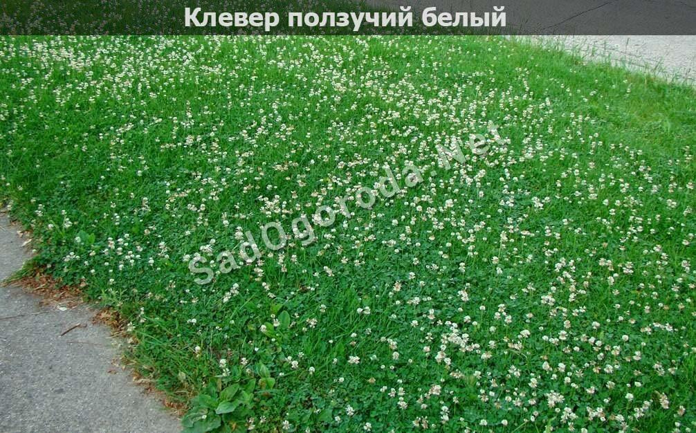 Клевер белый ползучий семена. Трава для посева газона. Посев газон травы