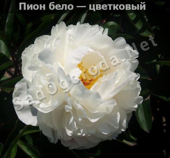 Пион бело — цветковый. Пионы сорта с фото и описанием. Посадка и уход. Болезни