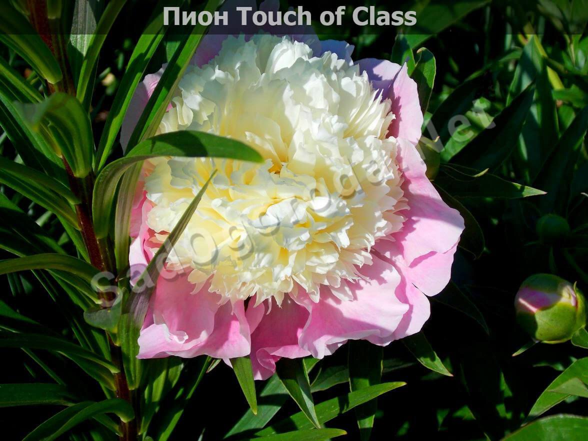 Пион Touch of Class. Пионы сорта с фото и описанием. Посадка и уход. Болезни