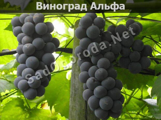 Виноград Альфа - описание сорта, фото, отзывы