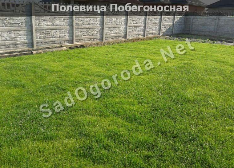полевица побегоносная отзывы дачников фото. Трава для посева газона. Посев газон травы
