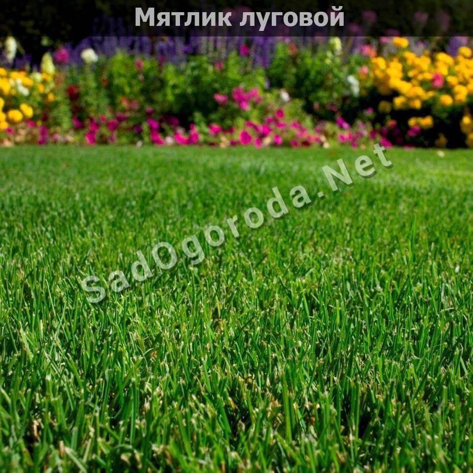 трава мятлик луговой фото описание. Трава для посева газона. Посев газон травы