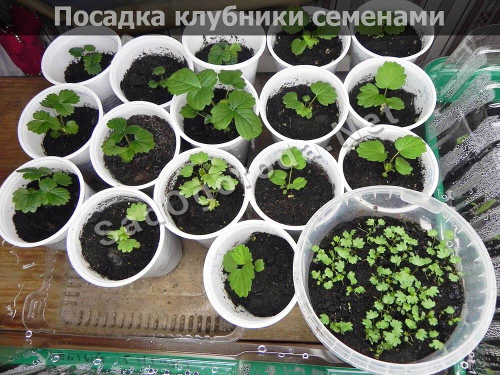 Посадка клубники семенами на рассаду. Выращивание клубники из семян