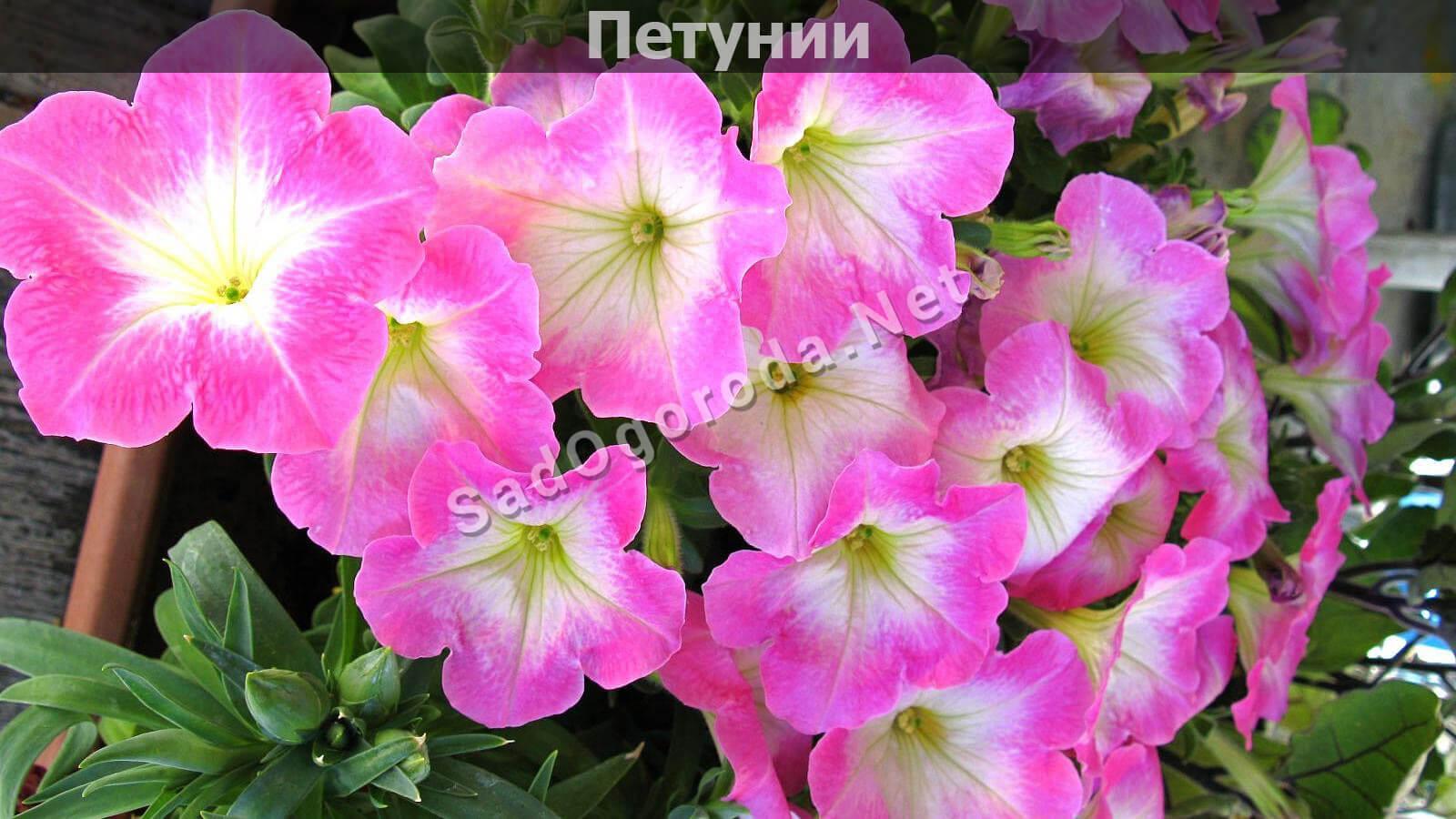 Цветы на рассаду в феврале-марте