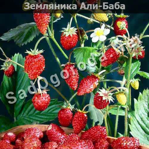 Cорта земляники с фотографиями и описанием. Земляника Али-Баба