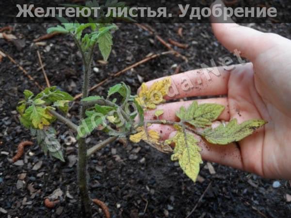 Удобрения для рассады томатов и перца в домашних условиях. Желтеют листья