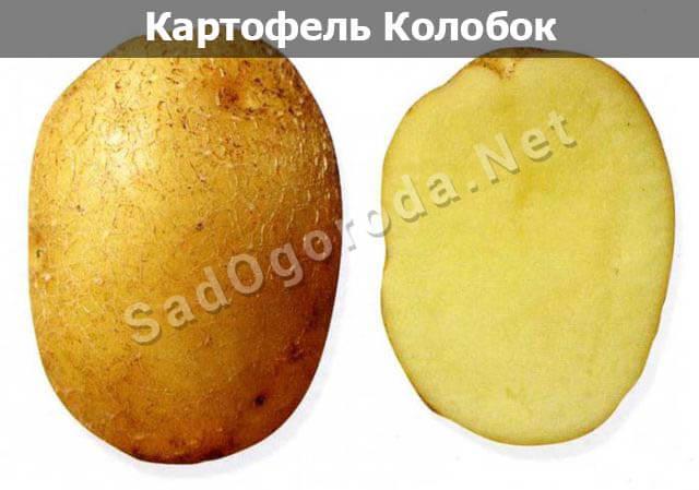 Картофель из семян посадка и уход. Картофель колобок