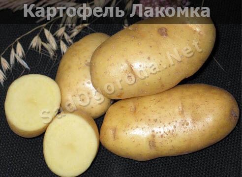 Картофель из семян посадка и уход. Картофель лакомка