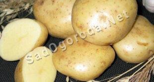 Картофель из семян посадка и уход. Картофель сказка