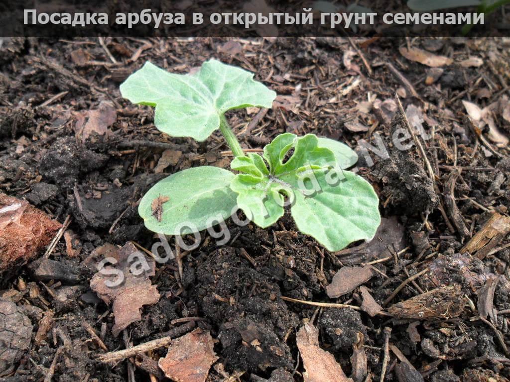 Посадка арбуза в открытый грунт семенами: удобрения, видео