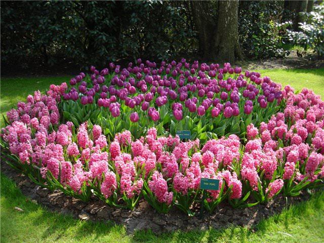 Украшение сада клумбой. Тюльпаны