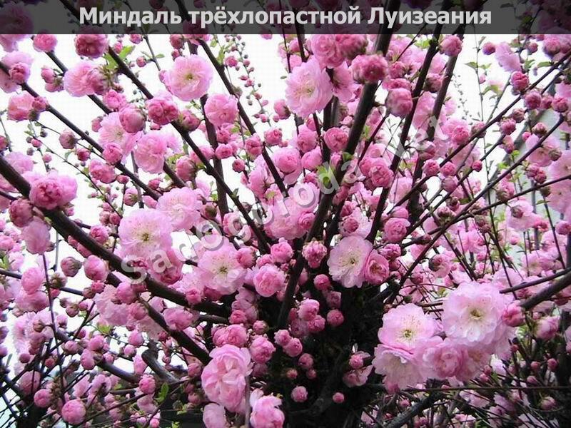 Цветы для сада и огорода многолетники фото с названиями. Миндаль трёхлопастной Луизеания