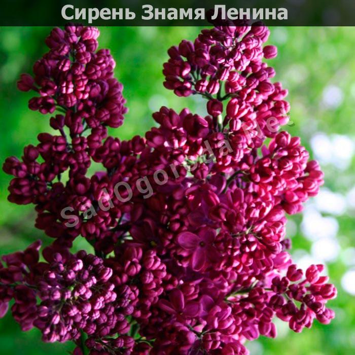 Цветы для сада и огорода многолетники фото с названиями. Сирень Знамя Ленина