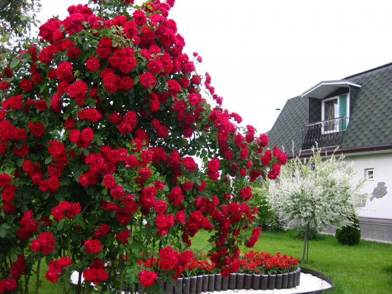 Красивый-куст-для-украшения-лужайки-перед-домом