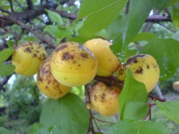 Monilioz-abrikosa