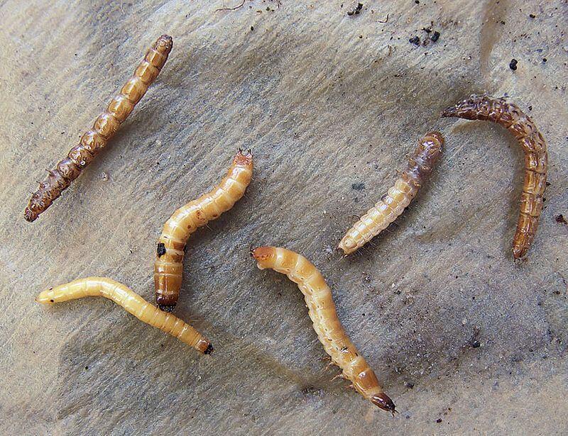 Горчичный жмых применение в огороде: отзывы, видео, удобрение