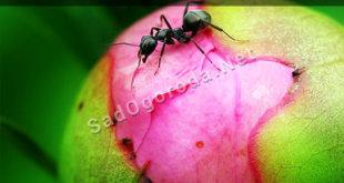 Как избавиться от муравьев на пионах